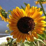 Bees and sunflowers Tucson Waldorf School & River Road Gardens biodynamic farmera